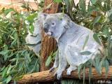 Koala Bear, Lone Pine Sanctuary  2