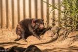 Tasmanian Devil, Lone Pine Sancuary  1