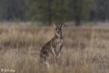 Eastern Grey Kangaroo, Broadwater Lake, Dalby  2