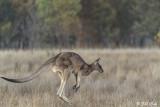 Eastern Grey Kangaroo, Broadwater Lake, Dalby  5