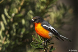 Flame Robin, Bruny Island, Tasmania  3