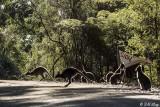 Swamp Wallaby, Bruny Island  18
