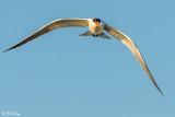Caspian Tern  7