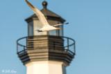 Caspian Tern  6