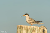 Common Tern  25