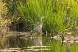 Great Blue Heron  54