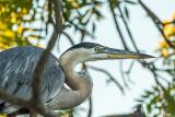 Great Blue Heron  53