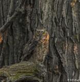 Great Horned Owl  51