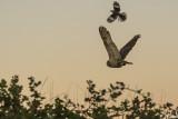 Great Horned Owl  50