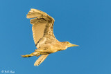 Night Heron  50
