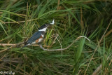 Belted Kingfisher 16
