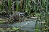 Raccoon  13