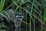 Raccoon  14