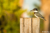 Belted Kingfisher 18