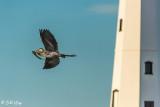 Great Blue Heron  56