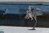 Great Blue Heron  57