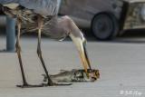 Great Blue Heron  58