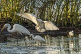 Great Egrets  51