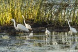Great Egrets  52