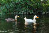 Mallard Ducks  54