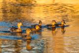 Mallard Ducks  56