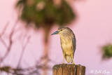 Night Heron  55
