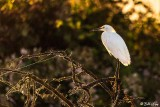 Snowy Egret  101