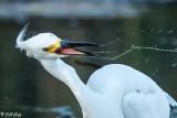 Snowy Egret  103