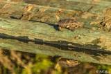 Western Pond Turtle   23