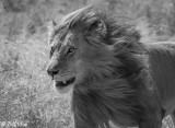 Running Lion  18