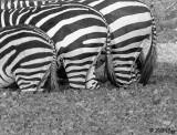 Zebra Butts, Tarangire Ntl. Park  1