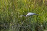 Great Blue Heron  61