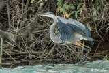 Great Blue Heron  62