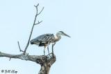 Great Blue Heron  65