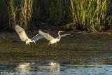 Great Egrets  53