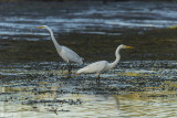 Great Egrets  54