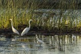Great Egrets  55