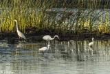 Great Egrets  56