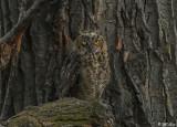 Great Horned Owl  60