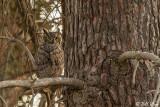 Great Horned Owl  61