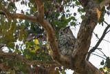 Great Horned Owl  62