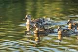 Mallard Ducks  58