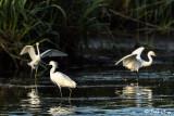 Snowy Egret  106