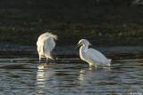 Snowy Egret  107