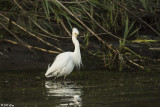 Snowy Egret  108