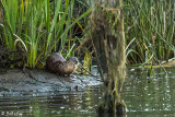 River  Otters  59