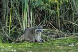 Raccoon   24