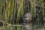 Raccoon   25