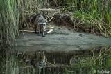 Raccoon   26