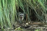 Raccoon   27